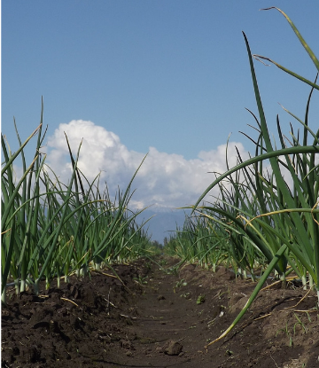 SUpply Chain Scene, image of onions growing in a field