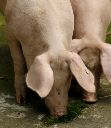 Supply Chain Scene, image of two hogs feeding on a farm