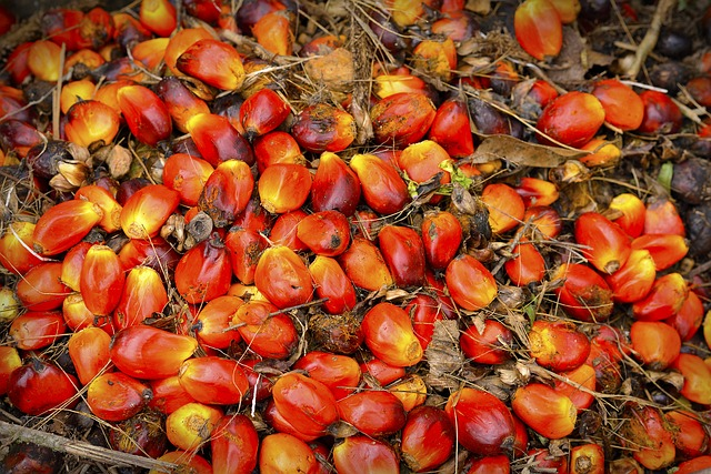 Palm oil fruit after harvest