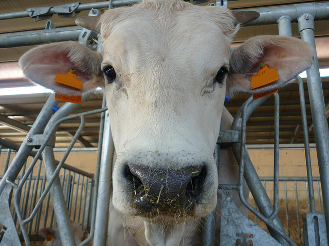 Cow looking through bars with tagged ears.