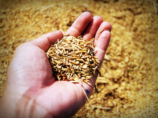 A person's hand with a scoop of harvested grain (background is more grain)