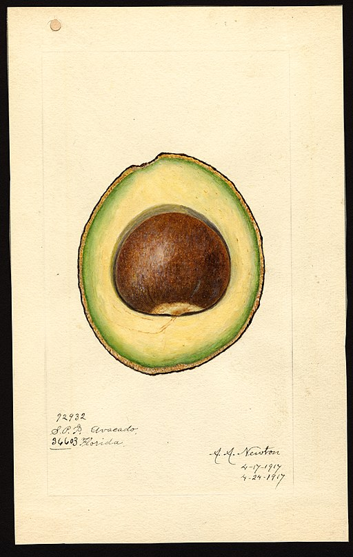 Scientific watercolor of Avocado and pit, circa 1917