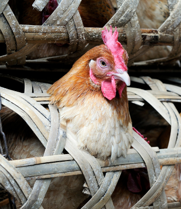 Supply Chain Scene, image of chicken in a cage