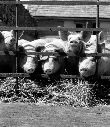 Supply Chain Scene, image of pigs on a farm