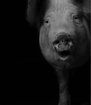 Supply Chain Scene, black and white image of a sad pig