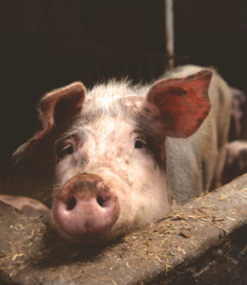 Supply Chain Scene, image of a hog in a farm pen