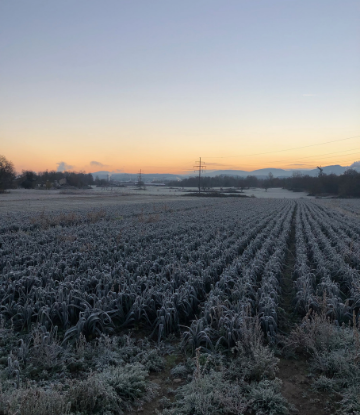 Supply Chain Scene, image of frost on a field of crops at dusk