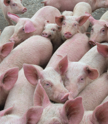 Supply Chain Scene, image of a group of live hogs