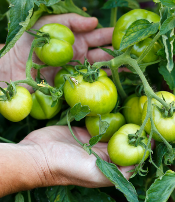 SCS, image of hands holding a cluster of green tomatoes on the vine