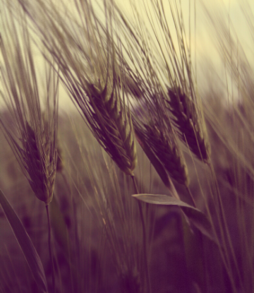 SCS, closeup image of wheat in the field